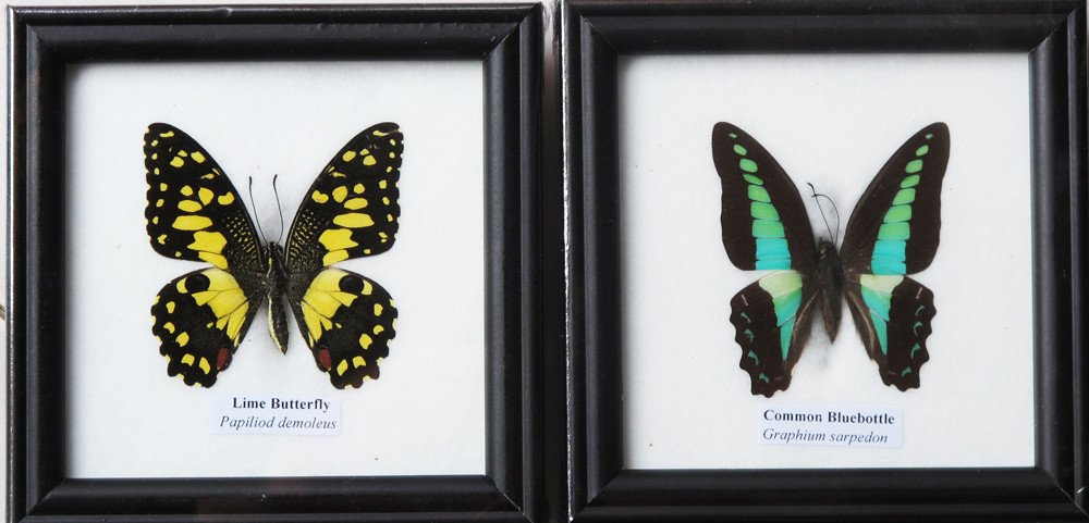 2 FRAMED THE LIME AND COMMON BLUEBOTTON BUTTERFLY DISPLAY INSECT TAXIDERMY 5''X5''X1'' by Thai