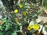 Opuntia robusta flower.: Cactus