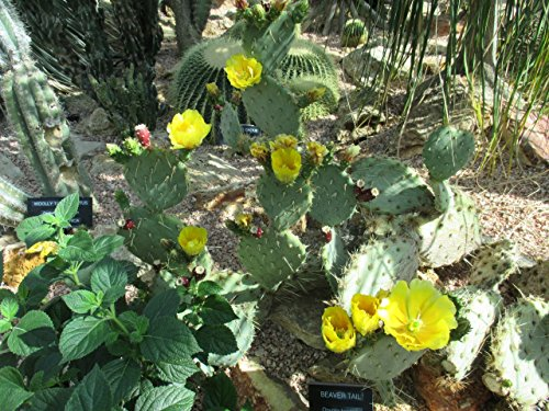 Opuntia robusta flower.: Cactus (English Edition)