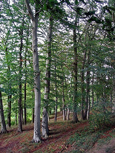 1000 X European Beech Seeds -Fagus Sylvatica- **Best Firewood**