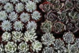 40 Echeveria Rosette Style Mixed 4'' inch Succulents in their plastic containers Wedding Favors