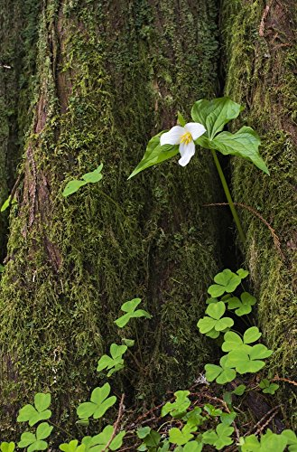 Posterazzi A Trillium grows from the trunk of a Western Red Cedar tree; Jewell Oregon United States of America Poster Print by Robert L. Potts/Design Pics (22 x - Tree Trunk Cedar Red