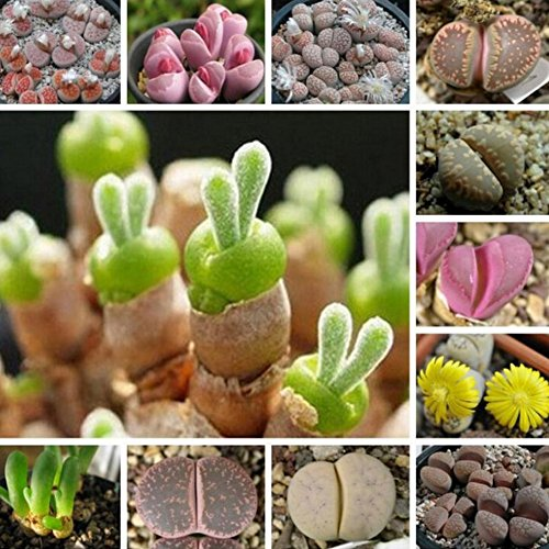 300 seeds/pack Bonsai Succulent Plant mini multi meat plants seeds, rabbit New Zealand ice-plant health and stone flowers seeds , for home and garden Flower pots planters