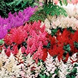 Astilbe Mix ~ 100 Seeds,violet,red,pink,cream and White, Shade Loving Plant