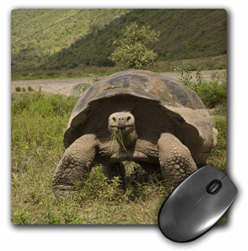 3dRose LLC 8 x 8 x 0.25 Giant Tortoise Alcedo Volcano Galapagos Islands Pete Oxford Mouse Pad (mp_86293_1) (Volcano Oxford)