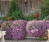 Saponaria Ocymoides -Rock Soapwort Seeds, Pink Flowers- Perennial Ground cover !(3000 Seeds)