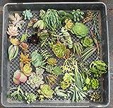 JIIMZ 100 Mixed Succulent Cuttings 4 Living Walls, Succulent Gardens & Collectors