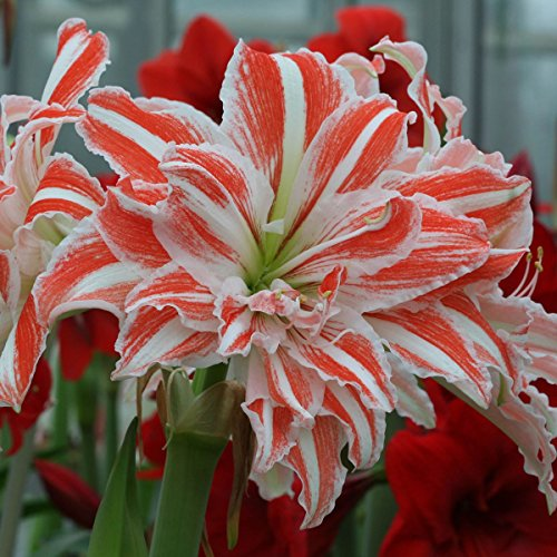 Amaryllis Dancing Queen 24/26 - 1 flower bulb Amaryllis 1 Bulb Double Flower