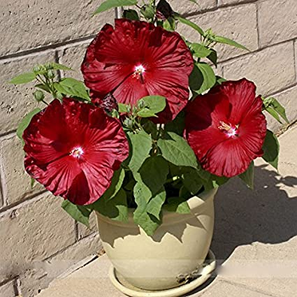 Amazoncom Red Hibiscus Ambizu Honeymoon Deep Red Hibiscus