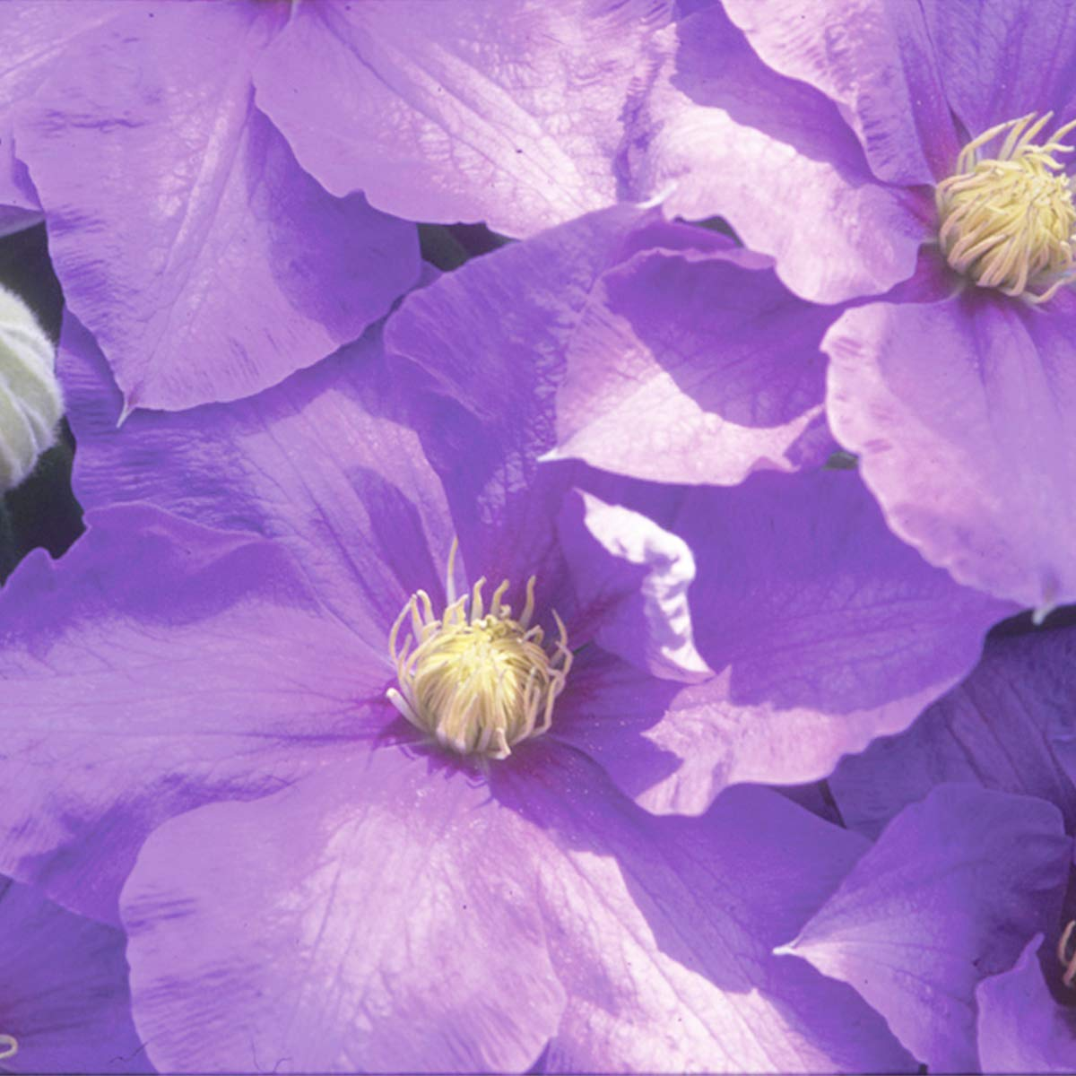 Burpee Perennial Clematis 'H. F. Young' Live Plant in a 6'' pot, True Blue Flowers, One Plant by Burpee (Image #3)