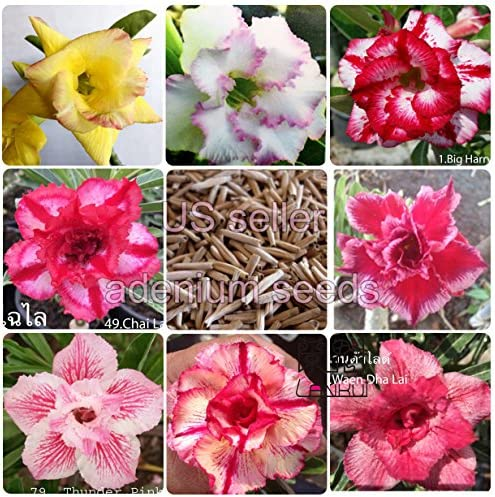 pictures of desert rose flowers