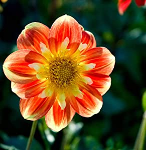 Dwarf Dahlia Patio Seeds Mixed Yellow Purple Red Orange Rose