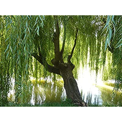 AchmadAnam - Live Plant - 2 Nice Big Weeping Willow Tree 2 to 3 ft Salix babylonica. E17 : Garden & Outdoor