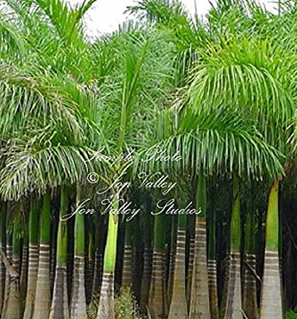 Royal Palm 8 Or 15 Seeds Tropical Plant Indoor Container Or Outdoor  Gardening Bright Green Roystonea