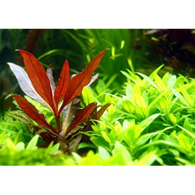 1 Stem Alternanthera Reineckii Mini Red Carpet Live Aquarium Plant : Garden & Outdoor