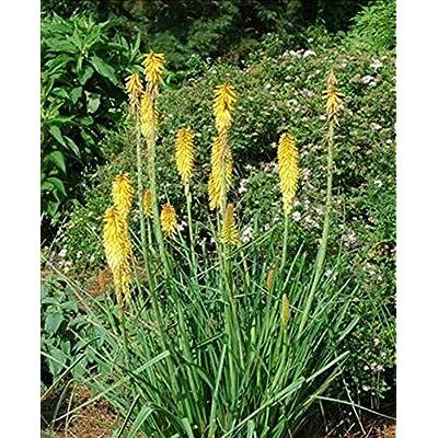 KNIPHOFIA - Mango - 1 Live Plant - Quart : Garden & Outdoor
