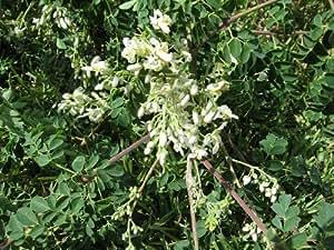 Asklepios-seeds | 500 seeds Moringa oleifera, fast growing, Drumstick