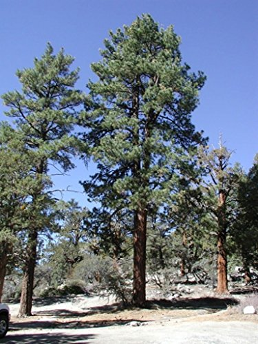 Pinus Ponderosa, Pine Tree, Native Tree, ()