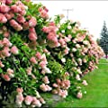 50Pcs Vanilla Strawberry hydrangea Flower Seeds for home planting perennial outdoor indoor bonsai etc easy to grow