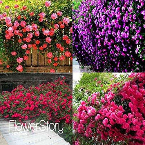 Big Sale!100 PCS/Pack New Beautiful Romantic 6 Variety Color Climbing Rose Seeds Rosa Multiflora Perennial Decor,#ZGZRLV