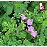 Sementes Watch Bonsai Prairie Mimosa Fresh Seeds (desmanthus Illinoensis) Shy Sensitive Plant Garden Grass Bulk Touch-me-not
