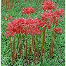 2 Bareroot Red Surprise Lily/ Resurrection Lily/ Naked Lady/ August Lily/ Lycoris Raidanti/ Red Spider Lily