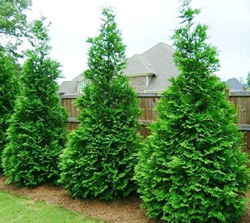 Review Green Giant Arborvitae Tree