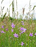 Home Comforts Laminated Poster Flowers Campanula Patula Spring Meadow Grass Poster Print 24 x 36