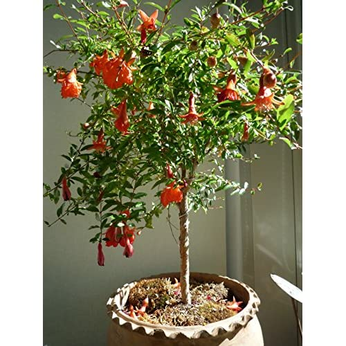 *SWEET DWARF POMEGRANATE TREE* 10 SEEDS *rare* #1056 for sale