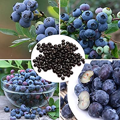 Bonsai Blueberry Seeds Garden Fruit Plant 30PCS