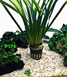 Vallisneria Spiralis Freshwater Live Aquarium Plants Potted P174 By Exotic Plant BUY 2 GET 1 FREE