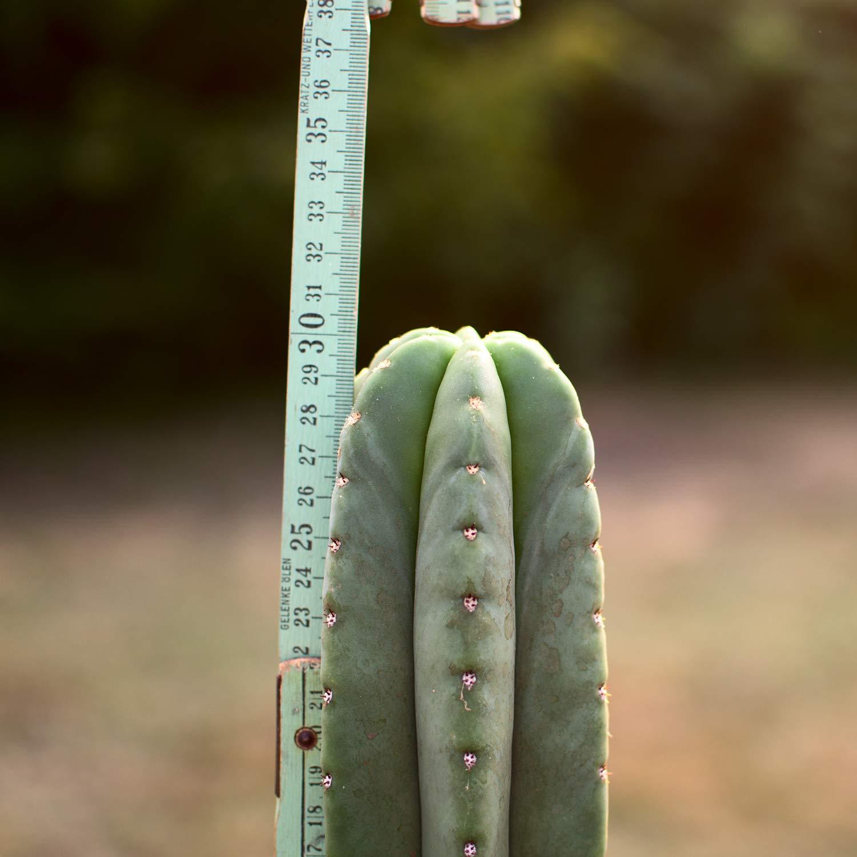Trichocereus pachanoi San Pedro Kopfsteckling ab 30cm