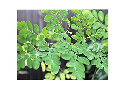 Amazon.com: Moringa oleifera PKM1 semillas híbridas Grown ...