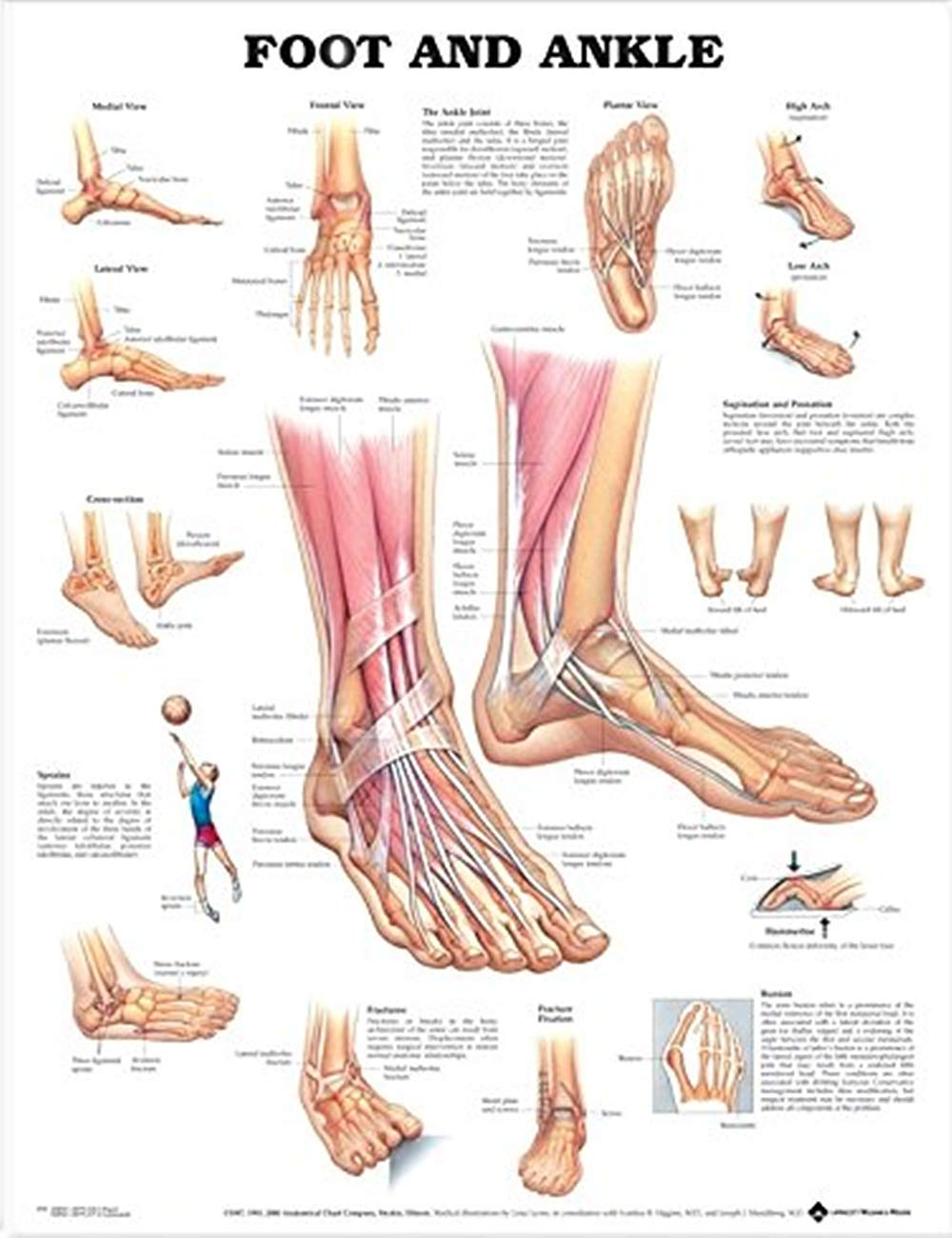 Foot And Ankle Anatomical Poster Human Physiology Chart Of Foot And