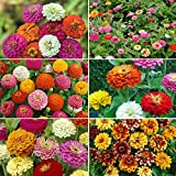 Zin Master - Zinnia Flower Seed Mix - 5 Pounds, Bulk, Mixed