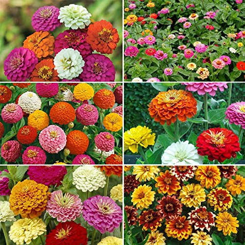 Zinnia Flower Seed Mix, Mixed Colors, Heariloom, Non GMO - 1/4 Pound, Mixed by Eden Brothers
