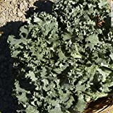 Everwilde Farms - 1 Lb Siberian Dwarf Kale Seeds - Gold Vault