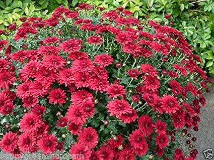 garden mum mix chrysanthemum indicum hortorum 300 seeds perennial flower - Garden Mum
