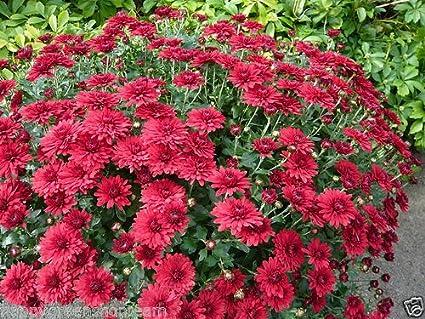 Etwas Neues genug Amazon.com : GARDEN MUM MIX - Chrysanthemum indicum hortorum - 300 @AL_04