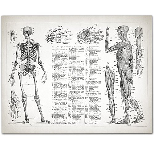 Human Anatomy - Muscular and Skeletal Systems - 11x14 Unframed Art Print - Great Gift for Doctors, Nurses, Nursing Students