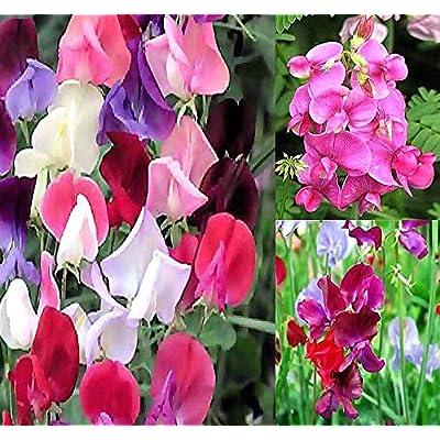 Big Pack - Sweet Pea Sweetpea Flower Seed (400+) Lathyrus odoratus Flower Seeds - Heirloom Mix Very Fragrant Blooms - Red Salmon Pink Lavender - Non-GMO Flower Seeds By MySeeds.Co (Big Pack Sweet Pea) : Garden & Outdoor