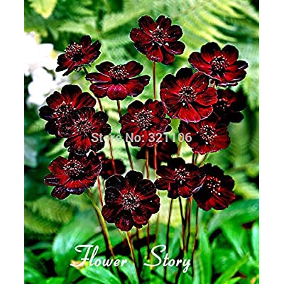 Loss Promotion! 400 Chocolate Cosmos - Blooms all summer long and has rich scent like chocolate, DIY Home Garden flower : Garden & Outdoor