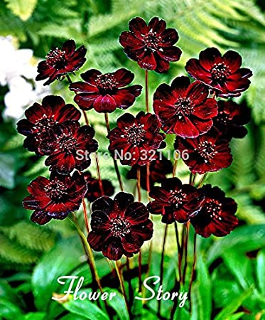 fd3809df 400 Chocolate Cosmos - Blooms all summer long and has rich scent like  chocolate, DIY Home Garden flower : Garden & Outdoor