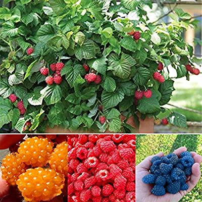 Elever Adorable Organic Everbearing Raspberry Seeds 100PCS (Red) : Garden & Outdoor