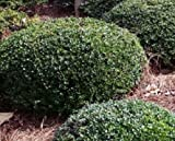 Dwarf Yaupon Holly ( Ilex Vomitoria ) -- Trade Gallon Pot