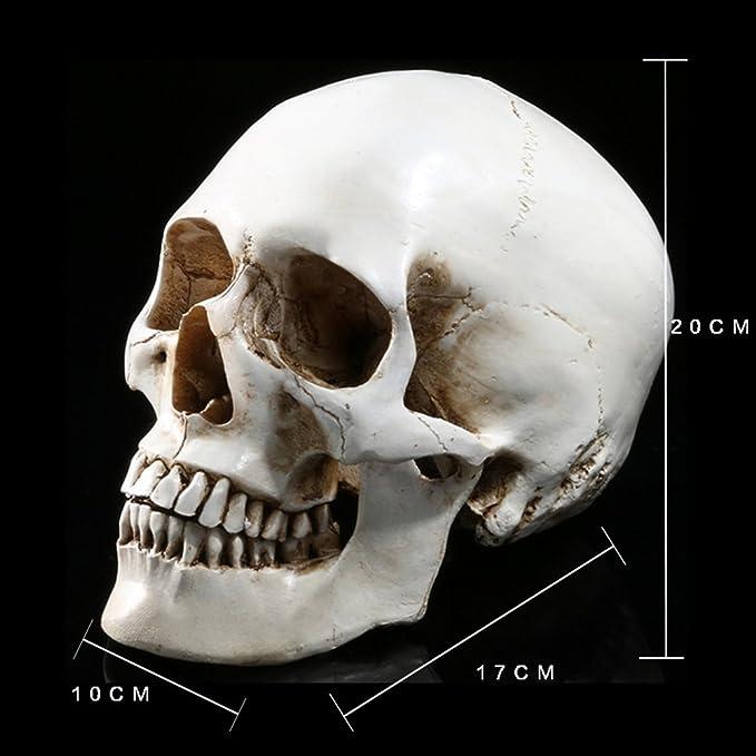 Amosfun Lifesize 1 1 Human Skull Model Replica Resin Medical Anatomical Tracing Medical Teaching Skeleton Halloween Decoration Statue Toys Games Amazon Com