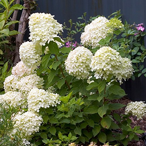 "Little Lime Hydrangea -Compact Flowering Shrub- Hardy - Proven Winners - 4"" Pot"