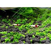 Aquarium Plant Seeds Fast Growing, Easy to Grow Aquatic Plant Seeds for Fish Tank Aquascape Ornament, Creat a Natural…