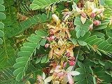 10 Seeds Tamarindus indica Tamarind Fruit Tree