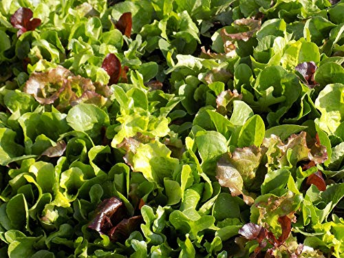 Home Comforts Canvas Print Eating Healthy Mesclun Lettuce Mix Food Leaves Vivid Imagery Stretched Canvas 32 x 24